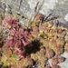 letzte Herbstfarben - am widerstandsfähigen Spinnwebigen Hauswurz