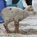 Questo agnello è stato lasciato tutta la notte sotto la neve! Immaginatevi come belava tenendo sveglio il campo!