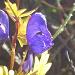 Blauer Eisenhut: schön und giftig