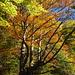 goldener Herbst III