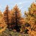 Intensive Farben mitten im Lärchenwald, mit Blick hinunter ins Rhonetal