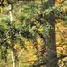Eibe (Taxus baccata)
