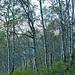 Birkenwald unterhalb von Odro