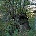 Mächtiger alter Baum