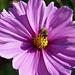 Kosmea (Cosmea bipinnata) im Sickershäuser-Garten