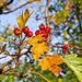 Beeren des Weissdorns (Crataegus laevigata)
