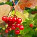Beeren des Gemeinen Schneeballs 2 (Viburnum opulus)