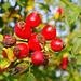 Hagebutten, Beeren der Hundsrose (Rosa canina)