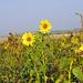 Letzte blühende Sonnenblumen in einem Sonnenblumenfeld