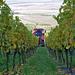 Das deckt sich gar nicht mit meinen Erinnerungen an die Weinlese im Lavaux
