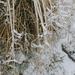 Ganz frische Schneebärte am Gras