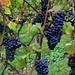 Maisprach ist bekannt für seine guten Baselbieter Weine.