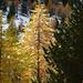 schneebedeckte Lärche im Sonnenlicht