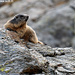 Marmotte italienne