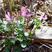 Sollte eigentlich Mai bis Juli blühen, hat sich wohl im Termin getäuscht. Rundblättriger Hauhechel (Ononis rotundifolia)