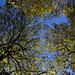 Die Kastanienbäume verlieren langsam ihr Blätter...