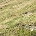 Marmotta (al centro, seminascosta nell'erba)