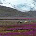 Mahlzeit auf blumigen Wiesen vor dem Eis des Drangajökulls