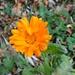 die Ringelblume - farbenfroh auch im Spätherbst
