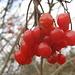 Beeren vom Gewöhnlichen Schneeball (Viburnum opulus) - schön, aber schwach giftig !