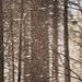 Sonne und Schneefall? bei Föhn im Wald geht´s