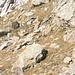 Marmotta tra le pietre