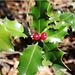 In der Fischbalme hat es sehr viele Stechpalmen (Ilex aquifolium)