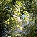 """<b>Vitalba (Clematis vitalba)</b>.<br />La vitalba è l'unica pianta da noi che produce grosse e lunghissime """"liane"""".<br />Il pennacchio bianco e setoso visibile non è il fiore, ma l'insieme dei frutti secchi."""