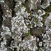 Lichene foglioso: <b>Parmelina tiliacea</b>.