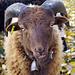 Bei Lamboing: schöne Hörner, schöne Augen, schöne Zunge....