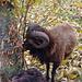 Eine ausnehmend schöne Schafrasse