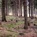 Waldeinsamkeit. Vorne links ein vom Schwarzspecht bearbeiteter alter Baumstubben.