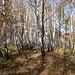 In pochi minuti raggiungiamo un betulleto di rara bellezza. Durante le mie numerose escursioni mi sono imbattuto più volte in splendidi boschi di betulle; non mi ricordo tuttavia di averne attraversato uno tanto stupendo e armonioso!