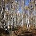 Ci godiamo in silenzio questo bosco, ammutoliti da tanto splendore.