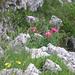 Paeonia officinalis L. , Ranunculaceae