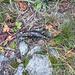 Salamandra, ne abbiamo incontrate molte (vista la bella giornata ...)