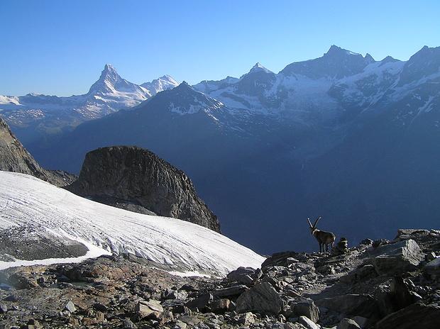 Ein sehr seltenes Motiv: Alpensteinbock und Matterhorn.<br />Letztes Bild des zweitern Tages
