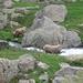 Stambecchi nei pressi del torrente Gesso della Barra.
