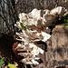 Wie Schmetterlinge sitzen die Pilze auf dem Moderholz
