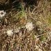 """die Silberdistel """"carlina acaulis"""", ein Herbstbote"""