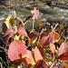 bestechend schöne Herbstfarben der Blätter - typisch, getrübt, die des Wassers ...
