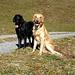 Meine beiden treuen Begleiter - die beiden Flatcoated Retriever Shadow (schwarz) und Finnley (blond).