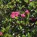 La foioritura di rododendri è ancora bella.