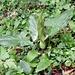 <b>Gigaro (Arum italicum)</b> (Foto d'archivio del 26.5.2002).