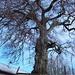 ...e questo magnifico esemplare arboreo [...and this magnificent tree]