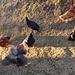 fleißige Hühner