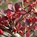Berberitzen-Herbst-Rot