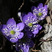 Kidneywort: The prominent flower you find all over the place in this area right now, thousands of those (also called liverwort or pennywort; Hepatica nobilis, Leberblümchen)