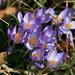 Spring Crocus (Crocus vernus, Frühlings-Krokus)