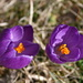 This is a cultivated form of the spring crocus (Crocus Vernus [http://en.wikipedia.org/wiki/Cultivars Cultivar])